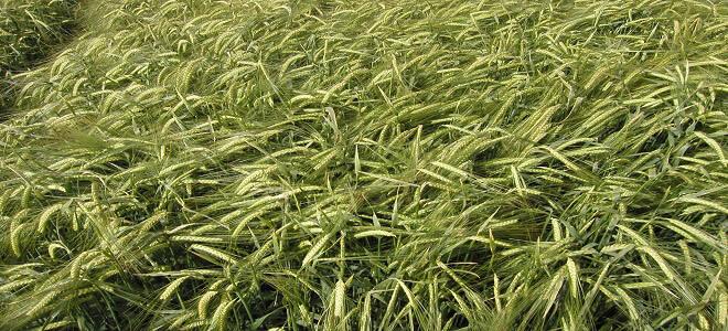 semilla cebada maltera de invierno