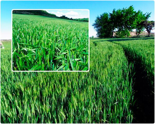 semilla de trigo de invierno