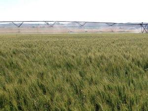 semilla de trigo de primavera