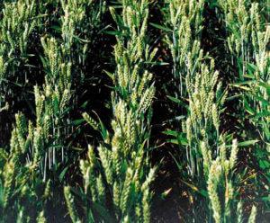 semilla de trigo de invierno tremie